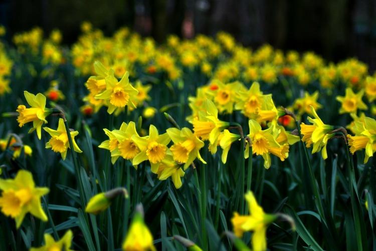 daffodil-286591_1280